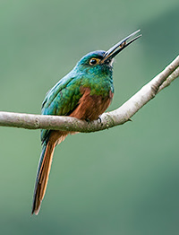 Coppery chested Jacamar 2