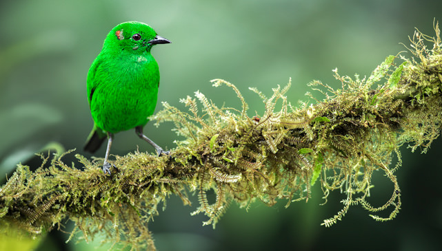 Glistening green Tanager 5