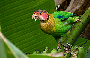 Rose faced Parrot