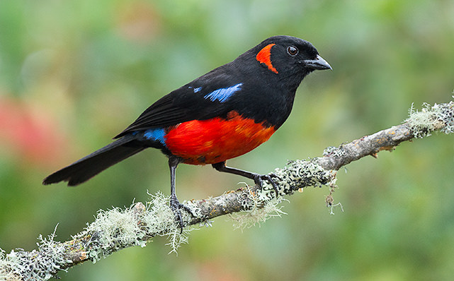 Scarlet bellied Mountain Tanager 2